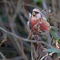 Photos: 「鳥の食」43 ベニマシコ・木の芽も
