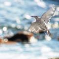 Photos: 波光る磯の鳥にも春立ちぬ