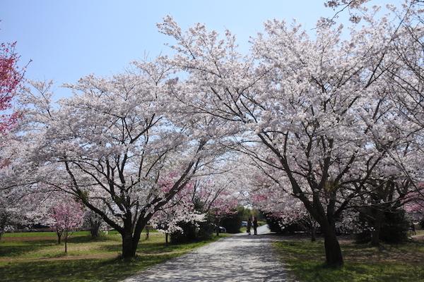 桜の花に囲まれたこの小径をロードスターで通り抜けたい