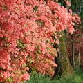 山で咲くツツジ2
