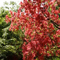 山で咲くツツジ3