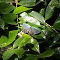 写真: オオミドリシジミ その6
