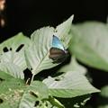 写真: オオミドリシジミ その20