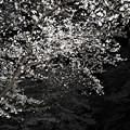 Photos: 夜桜 2019-02