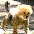 チーターの赤ちゃん3