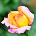 Photos: ピーチみたいなバラ