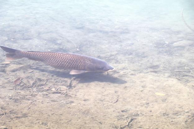 杉田ダムの鯉 IMG_3161