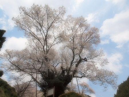 005_仏隆寺(千年桜)
