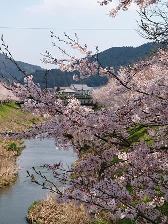 301_宇陀川の桜