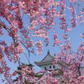 写真: 城桜