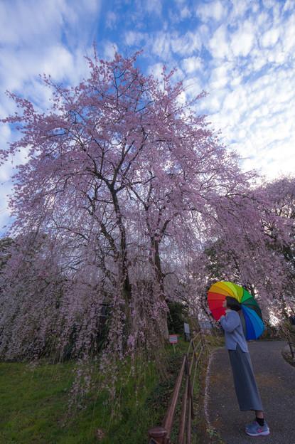 身延のしだれ桜♪
