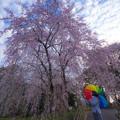 Photos: 身延のしだれ桜♪