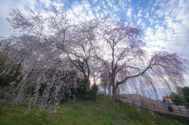 身延のしだれ桜♪2