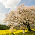 Photos: 馬場の山桜♪