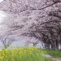 草場川の桜並木♪3