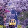 写真: 桜のトンネル♪