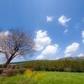 写真: 前原の一本桜♪