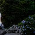 写真: 見帰りの滝と紫陽花とホタル♪