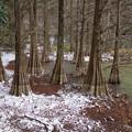 写真: 雪の九大の森♪