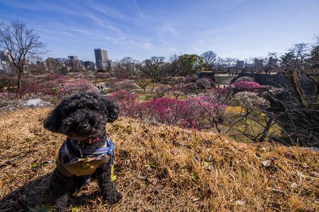 写真: 舞鶴公園の梅園♪
