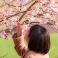筑前町の陽光桜♪