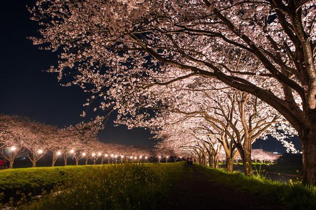 草場川桜並木♪
