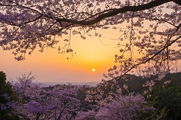 桜と夕陽♪