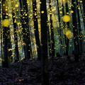 竹林とヒメボタル♪
