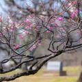 Photos: 舞鶴公園の紅梅♪