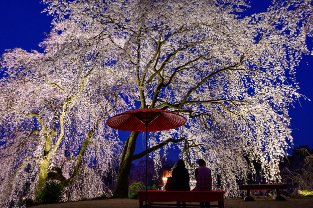 うきは身延桜(法華原のしだれ桜)♪
