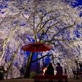 Photos: うきは身延桜(法華原のしだれ桜)♪
