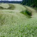 Photos: 波野のそば畑♪