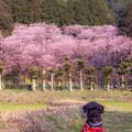 Photos: 初御代桜♪