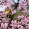 Photos: 彼岸桜♪