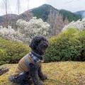 Photos: 興山園のハクモクレン♪