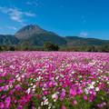 Photos: 長崎県島原市火張山公園のコスモス♪