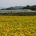 Photos: 遅咲きのミニ向日葵♪