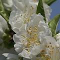 写真: 白い桃の花です