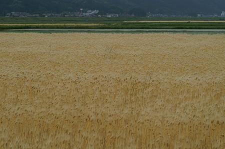 麦畑はもう黄金色