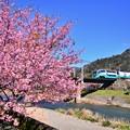 Photos: 最後の河津桜