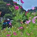 Photos: お婆ちゃんの秋桜畑