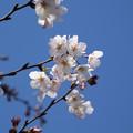 Photos: 桜01