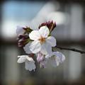 Photos: 桜02