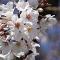 Photos: 桜03