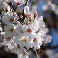 Photos: 桜04