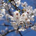 Photos: 桜05