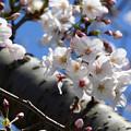 Photos: 桜06