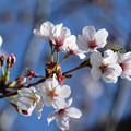 Photos: 桜07