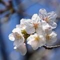 Photos: 桜09