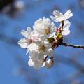 Photos: 桜10